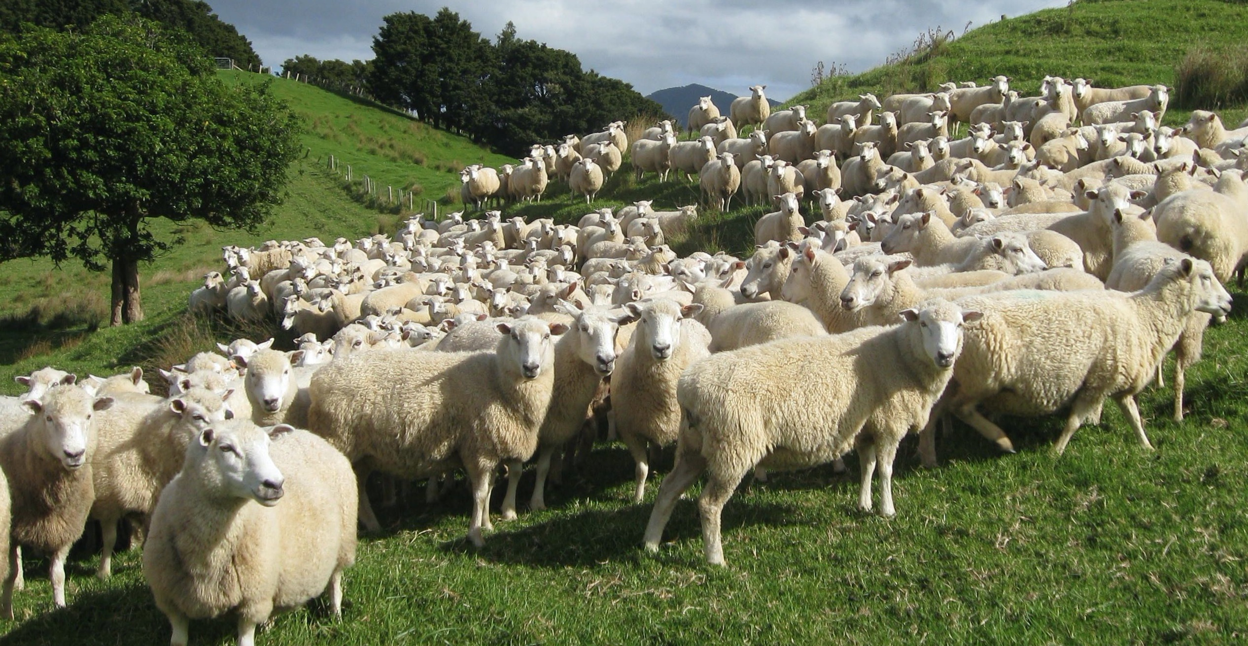 Sheep central progeny test extends to commercial properties